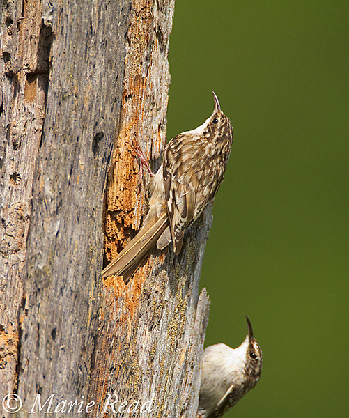 Brown Creeper (Certhia americana) pair at their nest site (crevice in treetrunk), New York, USA