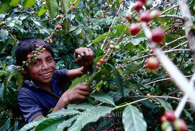 Guatemala, San Pedro La Laguna, Lake, Atitlan, coffee, coffea, organic, arabica, cherry, cherries, harvest, process, pick, select, ripe, green, red, worker, child, boy, foliage, smile
