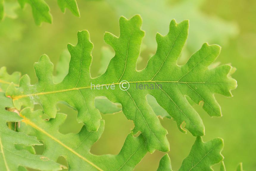 Chêne de Hongrie, Quercus frainetto // Leaf of Hungarian Oak or Italian Oak, Quercus frainetto