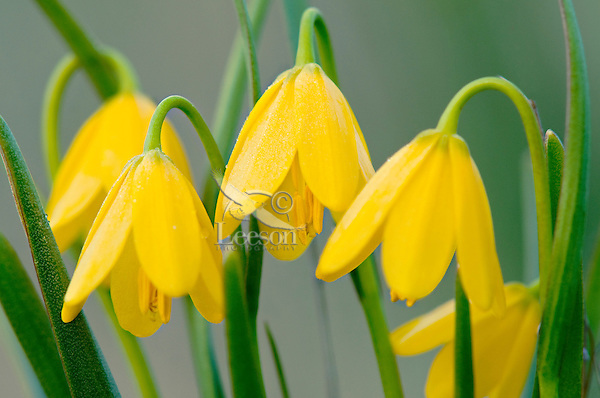 Yellow Bells (Fritillaria pudica).  Found early spring (these in late March) in Pacific Northwest.