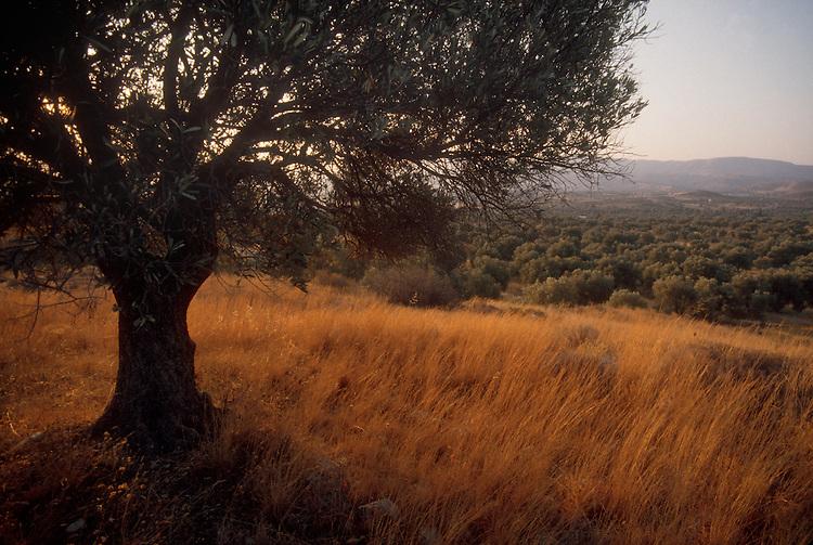 Crete, Greece, Olive tree, scenic, Vizari, Fourfouras area, Traditional farming Europe,