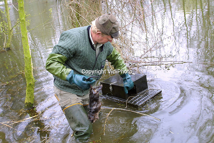 Foto: VidiPhoto..HERWEN - Muskusrattenvanger Dick Eskes van de provincie Gelderland haalt een verse rat uit een vangkooi bij Herwen. In een beperkt gebied van Gelderland zijn de rattenvangers woensdag weer aan de slag gegaan. De vangsten in het buitengebied hebben enkele weken stilgelegen om de verspreiding van de mond- en klauwzeer tegen te gaan. De vijftig rattenvangers in dienst van de provincie vangen jaarlijks ongeveer 50.000 ratten. In het voorjaar worden de meeste ratten gevangen.
