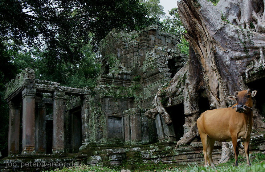 Cow in front of left wing at East entrance of Preah Khan temple , Angkor Wat, Cambodia, August 2011