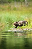 USA, Alaska, grizzly bears cubs exploring, Redoubt Bay