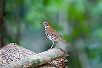 Wood Thrush, El Ceibal, Guatemala