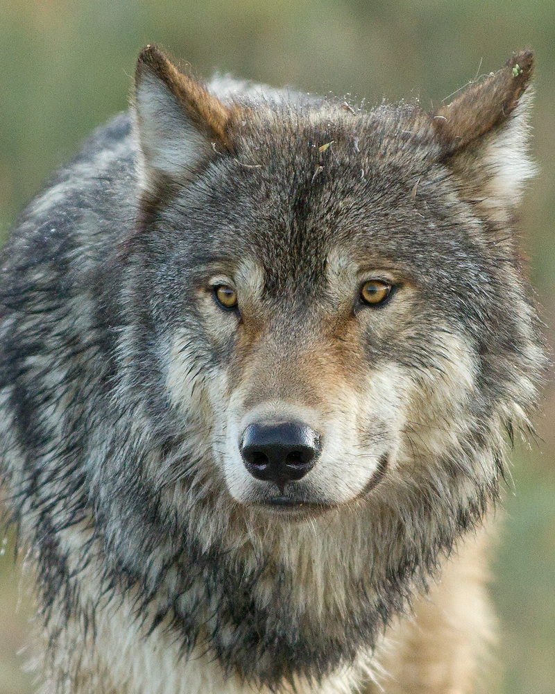 EYES OF THE WOLF   Wild at Heart Images