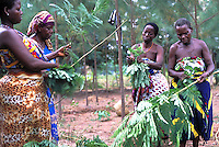 Farmers collecting  Calliandra leaves for animal feeding