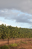 Royalty Free photos of a vineyard