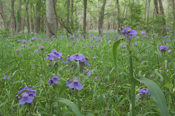 Prairie Spiderwort, Tradescantia occidentalis, blooming on forest floor, Palmetto State Park, Gonzales County, Texas, USA