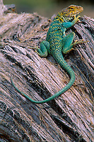 Yellow-headed collared lizard<br />