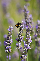Bee on a lavender stalk, The Cotswolds, Oxfordshire, United Kingdom