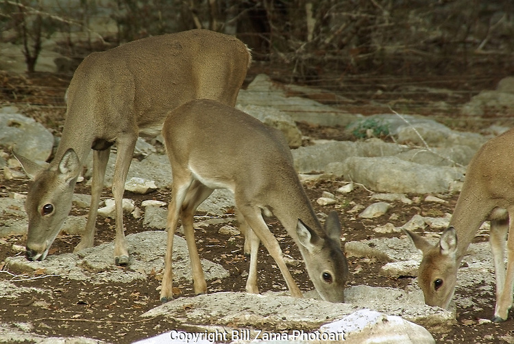 White Tail Deer in Kerrville Texas