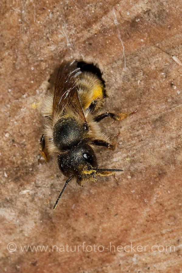 Rote Mauerbiene, Mauer-Biene, am Loch in einer Wildbienen - Nisthilfe, Insektenhotel, Osmia rufa, Osmia bicornis, red mason bee, Mauerbienen