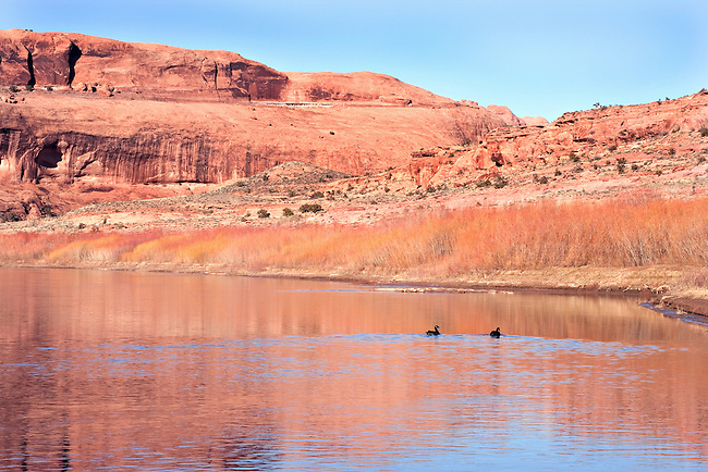 Canada Geese Gilhouetted in Colorado River, Moab, Utah