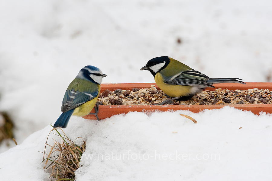 Kohlmeise und Blaumeise, an der Vogelfütterung, Fütterung im Winter bei Schnee, frisst Körner am Boden aus einer Schale, Winterfütterung, Kohl-Meise, Meise, Parus major, great tit, Blau-Meise, Cyanistes caeruleus, Parus caeruleus, blue tit