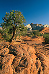 Morning light over slickrock and pine tree, Snow Canyon State Park, Ivins, Utah's Dixie, near St. George, UTAH