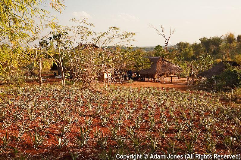 Pineapple crop, Long Neck Karen, Lu-Mien or Yao, and Akha Hilltribe village, Northern Thailand near Chiang Rai.