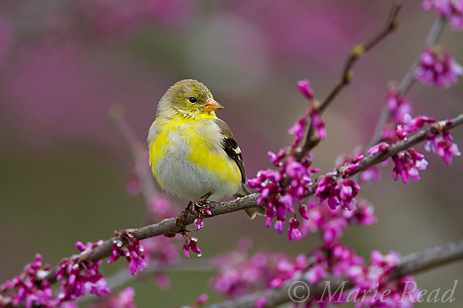 American Goldfinch (Carduellis tristis) male molting into breeding plumage, perched in flowering easteern redbud, New York, USA