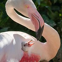 First flamingo chicks were born at a bird park for a decade