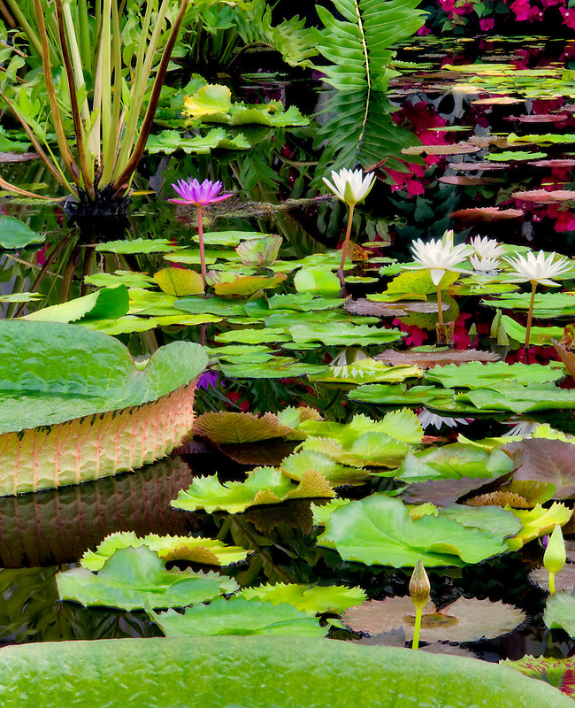 Tropical water lilies . Hughes water gardens , OR