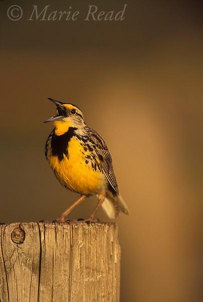 Eastern Meadowlark (Sturnella magna), male singing, Wichita Mountains National Wildlife Refuge, Oklahoma, USA<br /> Slide B163-1443