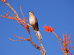 mockingbird on ocotillo