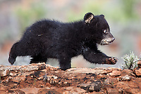 Black Bear cub walking across a rocky hill - CA