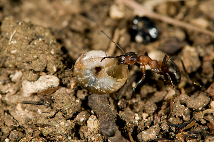 Wood ant, Formica rufa, carrying scavenged snail shell back to its nest. It was probably attracted by remains in the shell. Sapperton, Gloucestershire. UK.