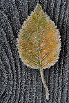 Birch leaf frosted on wood railing