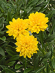 Yellow Buttons, Gazania ringens