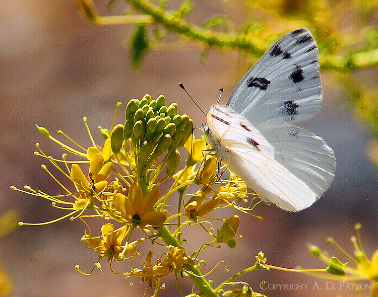 Checkered white male