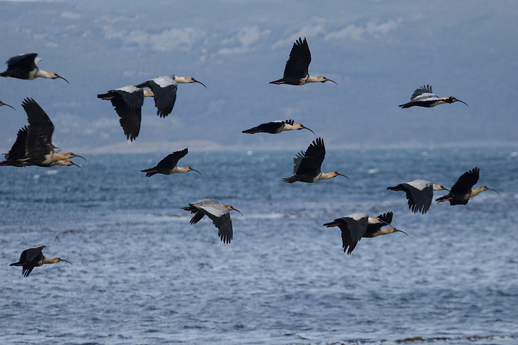 Ibis in flight over Beagle Channel, Tierra del Fuego, Argentina