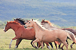 Horses galloping across a pasture, slow motion.