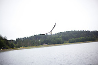 A bald eagle swoops in for food on Mud Bay, Lopez Island, WA, USA.