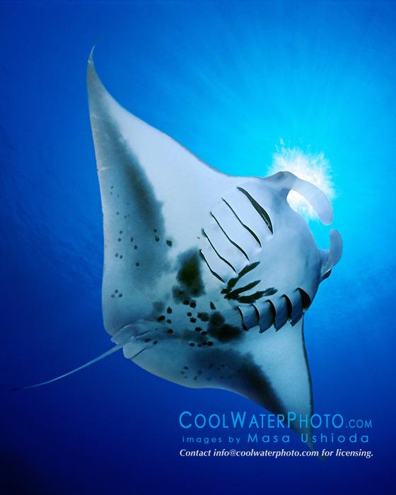 reef manta ray or coastal manta feeding on plankton, Manta alfredi, Kona Coast, Big Island, Hawaii, USA, Pacific Ocean