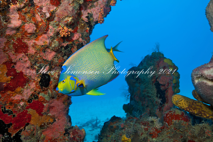 A Queen angelfish near the propeller of the Suffolk Maid shallow wrecks of Butler Bay  St. Croix US Virgin Islands