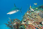 Gardens of the Queen, Cuba; a Caribbean Reef Shark swimming over the colorful coral reef