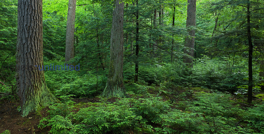 Virgin stand of Eastern Hemlock (Tsuga canadensis), Ricketts Glen State Park, Pennsylvania, USA. This park contains one of the largest stands of healthy ancient hemlocks, a species that has been devastated elsewhere by the Hemlock Wooly Adelgid.