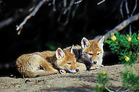 Two wild coyote pups rest near their den.  Western U.S., June.