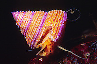 Ringed Top Snail  (Calliostoma annulatum), British Columbia Canada.