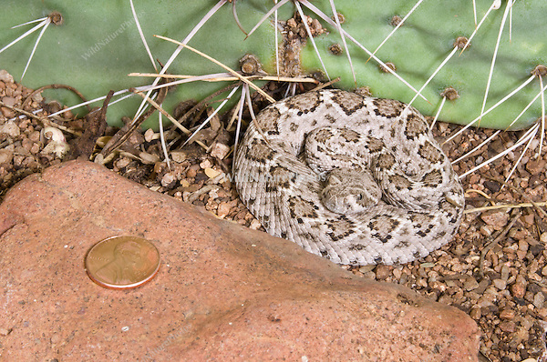"A baby Western Diamondback Rattlesnake (Crotalus atrox), about 8"" long, coiled next to a U.S. penny for size comparison.  Tucson, Arizona."