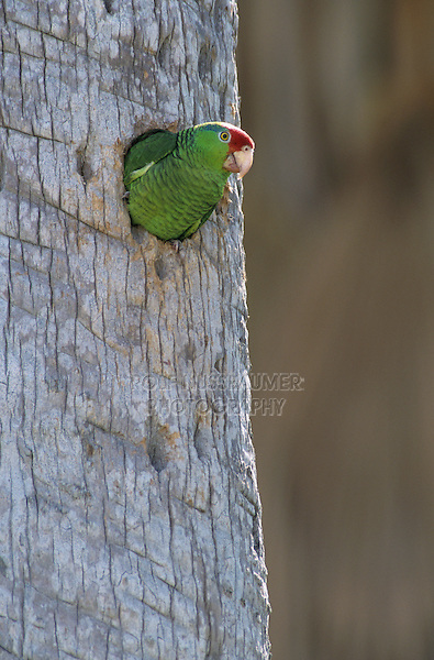 Red-crowned Parrot, Amazona viridigenalis,adult in nesting cavity in  palm tree, Brownsville, Rio Grande Valley, Texas, USA