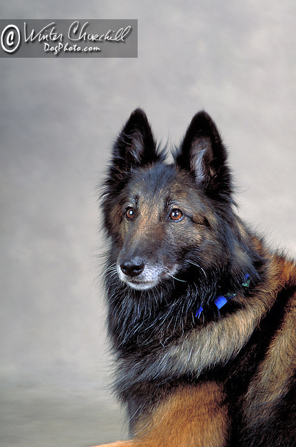 Belgian Tervuren<br /> <br /> <br /> <br /> <br /> <br /> Shopping cart has 3 Tabs:<br /> <br /> 1) Rights-Managed downloads for Commercial Use<br /> <br /> 2) Print sizes from wallet to 20x30<br /> <br /> 3) Merchandise items like T-shirts and refrigerator magnets Shopping cart has 3 Tabs:<br /> <br /> 1) Rights-Managed downloads for Commercial Use<br /> <br /> 2) Print sizes from wallet to 20x30<br /> <br /> 3) Merchandise items like T-shirts and refrigerator magnets
