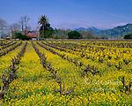 Mustard Field, Calistoga, Napa Valley, California