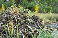 Beaver (Castor canadensis) working on lodge (preparing it for winter), northern North America.
