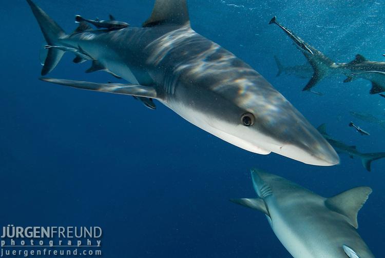 Grey Reef sharks at North Horn teeming at water surface.Carcharhinus amblyrhynchos