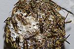 Paper Wasp nest (Polistes exclamans), Lake Texoma, Oklahoma, USA