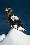 Steller s Sea Eagle, Haliaeetus pelagicus, group on sea pack ice, Okhotsk Sea, Rausu, Hokkaido, Japan, japanese, Asian, wilderness, wild, untamed, photography, ornithology, snow, bird of prey, Vulnerable.Japan....