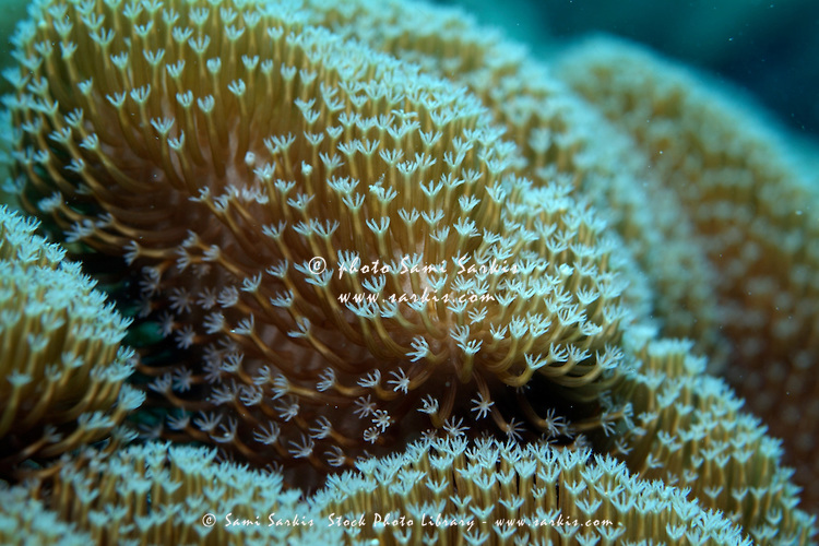 Spiked Long Polyp Leather Coral (Sarcophyton) growing underwater, Veligandu, Rasdhoo Atoll, Maldives.