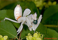 "0610-07oo  Malaysian Orchid Mantis Consuming Prey - Hymenopus coronatus ""Nymph"" - © David Kuhn/Dwight Kuhn Photography"